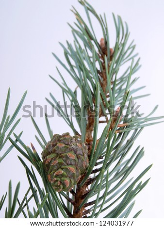 Color photo of fir branches and cones - stock photo