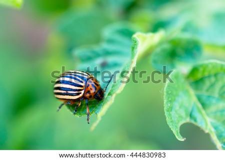 Colorado beetle on a potato leaf. Photo closeup. Shallow depth of field - stock photo