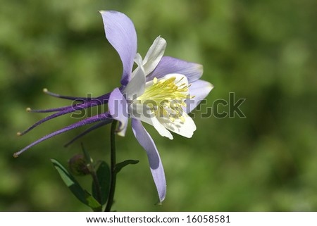 Colorado Columbine (aquilegia caerulea) - stock photo