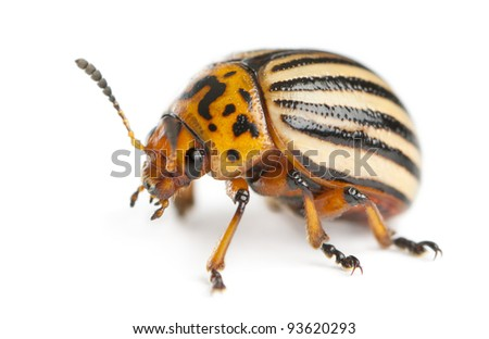 Colorado potato beetle, also known as the Colorado beetle, the ten-striped spearman, the ten-lined potato beetle or the potato bug, Leptinotarsa decemlineata, in front of white background - stock photo