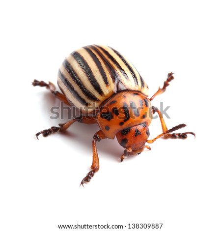 Colorado potato beetle isolated on white - stock photo