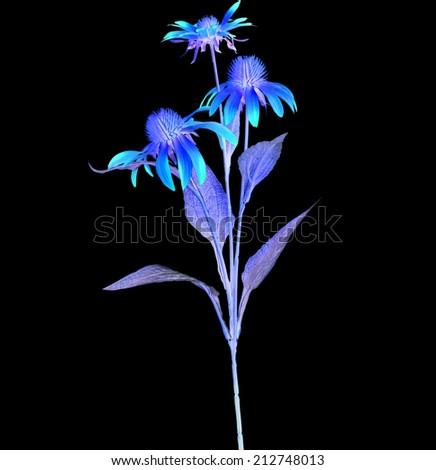 Colored Echinacea  Flower isolated on black background - stock photo