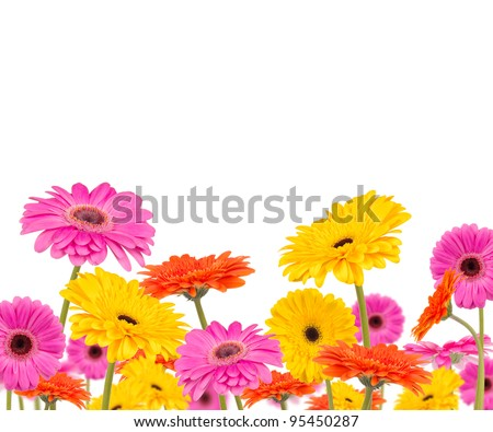 Colored gerber flowers isolated on white background - stock photo