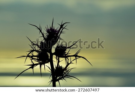 Colored image of wild thistle at sunrise - stock photo