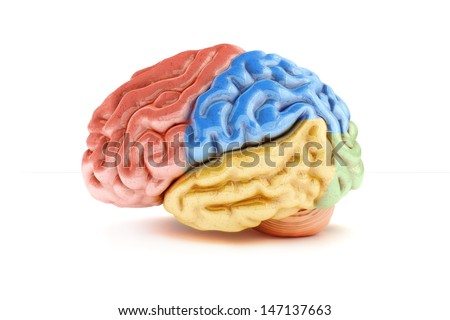 Colored sections of a human brain on a white background. Part of a medical series - stock photo