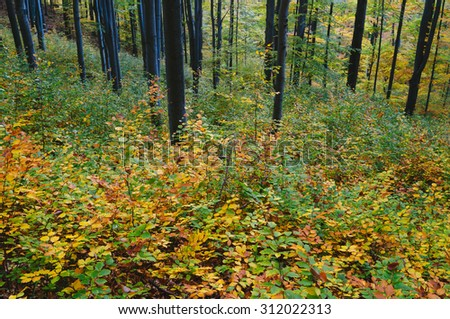 Colorful autumn in the mountain forest. Beech trees with red and yellow leaves - stock photo