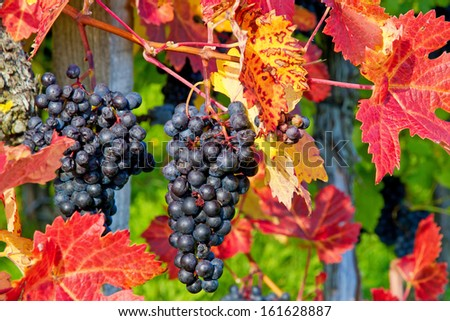 Colorful autumn in vineyard  - stock photo