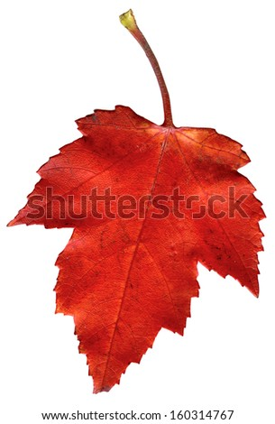 Colorful autumn leave isolated on white. - stock photo