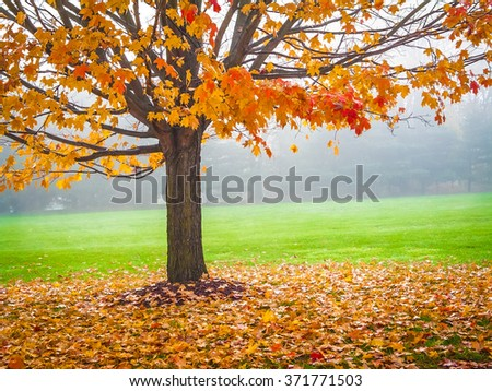 Colorful Autumn leaves on this Maple tree on a foggy early morning in Central New Jersey. - stock photo