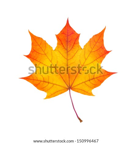 colorful autumn maple leaf isolated on white background - stock photo