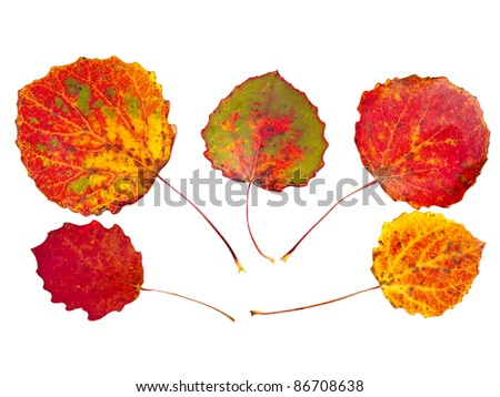 colorful autumnal aspen leaves isolated - stock photo