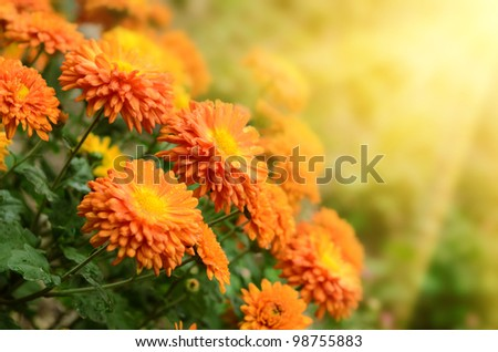 Colorful autumnal chrysanthemum  background - stock photo