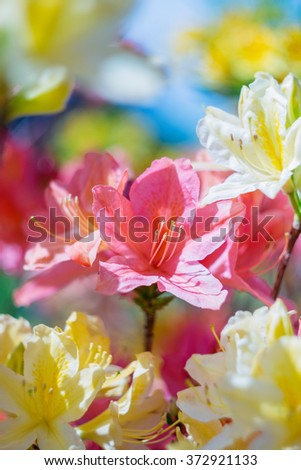 Colorful azalea flowers in spring sunny day. Selective focus - stock photo