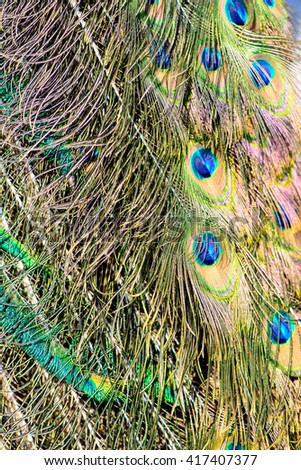 colorful background texture of peacock feathers bird - stock photo
