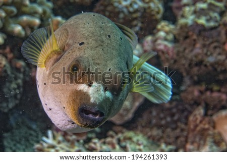 colorful ball puffer fish portrait while looking at you - stock photo