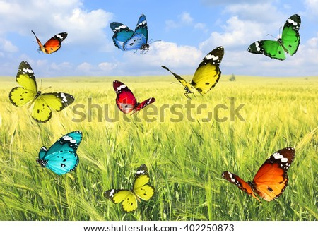 Colorful beautiful butterflies's flight on a wheat field landscape background.Nature summertime abstract     - stock photo