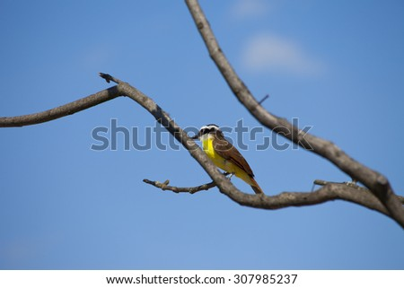 Colorful Bee eater bird on tree with blue sky - stock photo