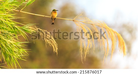 Colorful bee eater sitting on a branch of reed - stock photo