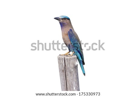 Colorful bird on a branch (Indian Roller) Isolated on white background ,Bird of Thailand - stock photo