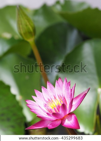 colorful blooming pink lotus flower with lotus bud and green leaves background - stock photo