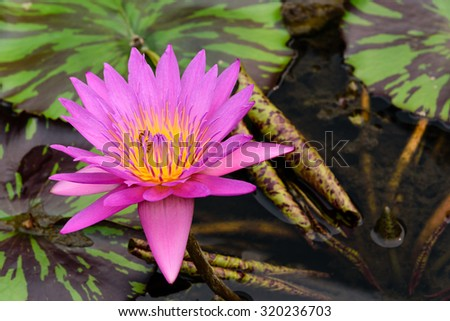 Colorful blooming pink water lily with bee is trying to keep nectar pollen from it. The view captured at a lotus pond in Singapore. Lotus flower in Asia is an important culture symbol - stock photo
