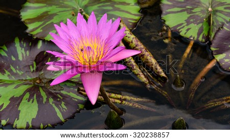 Colorful blooming pink water lily with bee is trying to keep nectar pollen from it. The view captured at a lotus pond in Singapore. Lotus flower in Asia is an important culture symbol. Panoramic style - stock photo