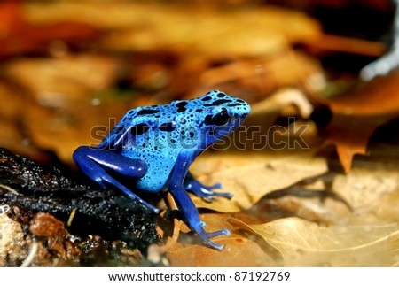 colorful blue frog in natural environment - stock photo