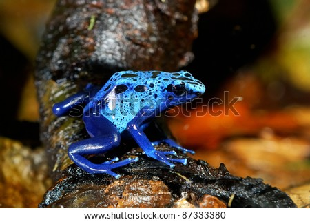colorful blue frog in nature - stock photo