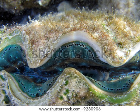 Colorful blue green small giant clam (Tridacna maxima) on a Great Barrier Reef - stock photo