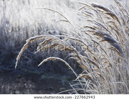 Colorful bokeh of dry grass in hoarfrost early morning in the rays of the rising sun the beginning of winter - stock photo