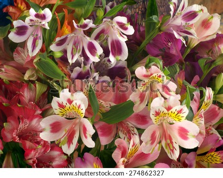colorful bouquet of flowers Alstroemeria as a background - stock photo