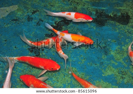 Colorful Carps Swimming In The Pond - stock photo