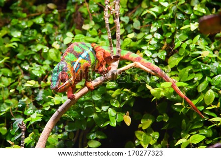 colorful chameleon in green bushes - stock photo