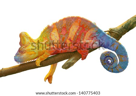 Colorful Chameleon on branch closeup isolated on white - stock photo
