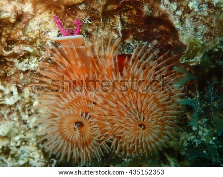 Colorful Christmas Tree Worm on Coral Key West Florida - stock photo