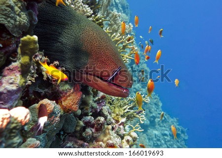 colorful coral reef with dangerous great moray eel at the bottom of tropical sea - stock photo