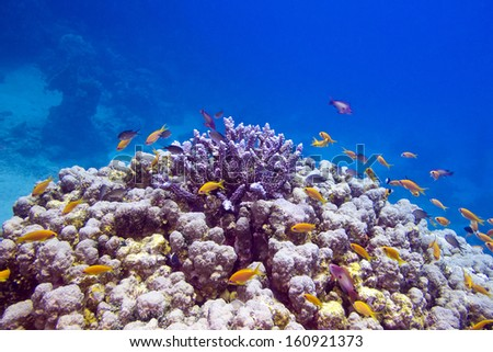 Colorful coral reef with exotic fishes anthias  at the bottom of tropical sea on blue water background - stock photo