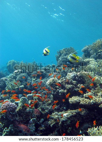 colorful coral reef with exotic fishes at the bottom of tropical sea on blue water background - stock photo
