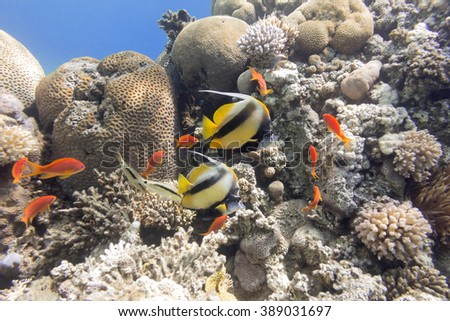 colorful coral reef with hard corals at the bottom of tropical sea on a background of blue water - stock photo