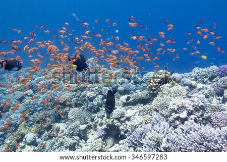 colorful coral reef with shoal of exotic fishes anthias at the bottom of tropical sea, underwater - stock photo