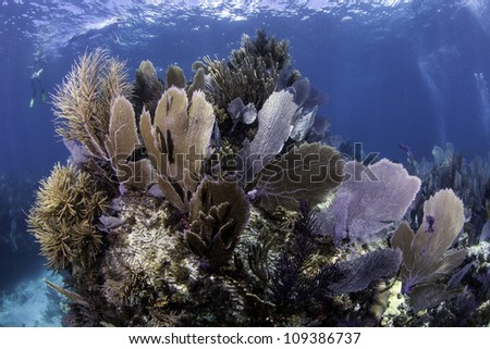 Colorful coral se fans with blue water background in Key Largo, Florida. - stock photo