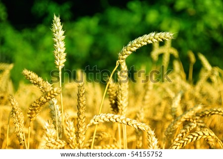Colorful corn field - stock photo