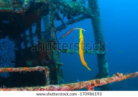 Colorful cornetfish swim around the wheelhouse of an underwater shipwreck - stock photo