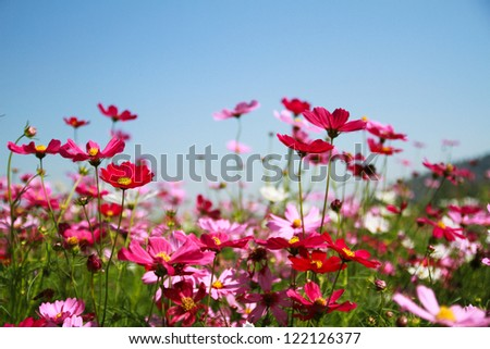 Colorful cosmos flowers field - stock photo