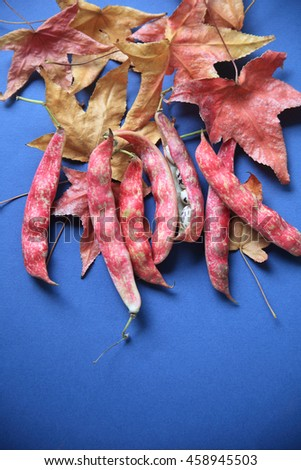 Colorful cranberry beans with russet and gold liquidambar leaves on a blue background - stock photo
