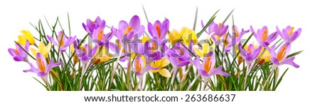 Colorful crocuses isolated on white background. - stock photo