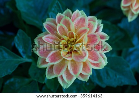 Colorful dahlia flower in garden - stock photo