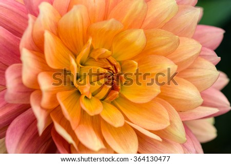Colorful dahlia petals macro, floral abstract background. Shallow DOF. - stock photo