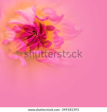 Colorful dahlia petals macro on pink, floral abstract background. Shallow DOF, very soft focus. Copy space for your text. - stock photo