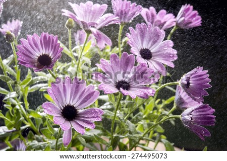 colorful daisies whose Latin name is dimorfoteca in a studio shot selective focus - stock photo